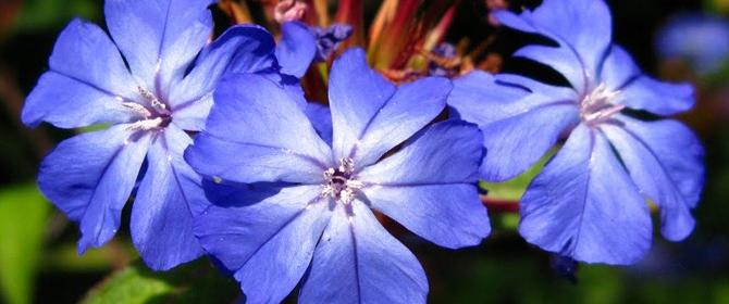 certato flor bach